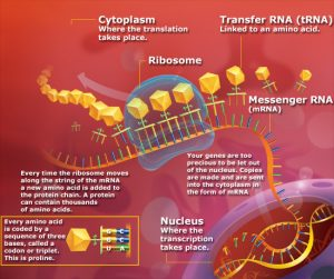 website protein synthesis